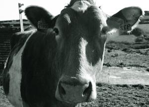cow_illustration