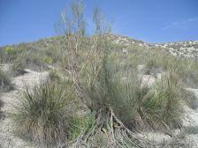 fernando-maestre-blog-de-maestre-lab_ejemplo-de-vegetacion-en-zona-semiarida