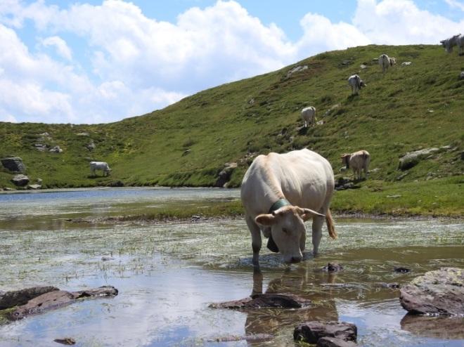 vaca_charca
